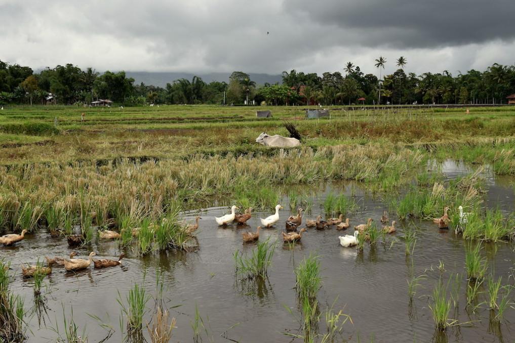 13 Schwimmende Laufenten, Langoan