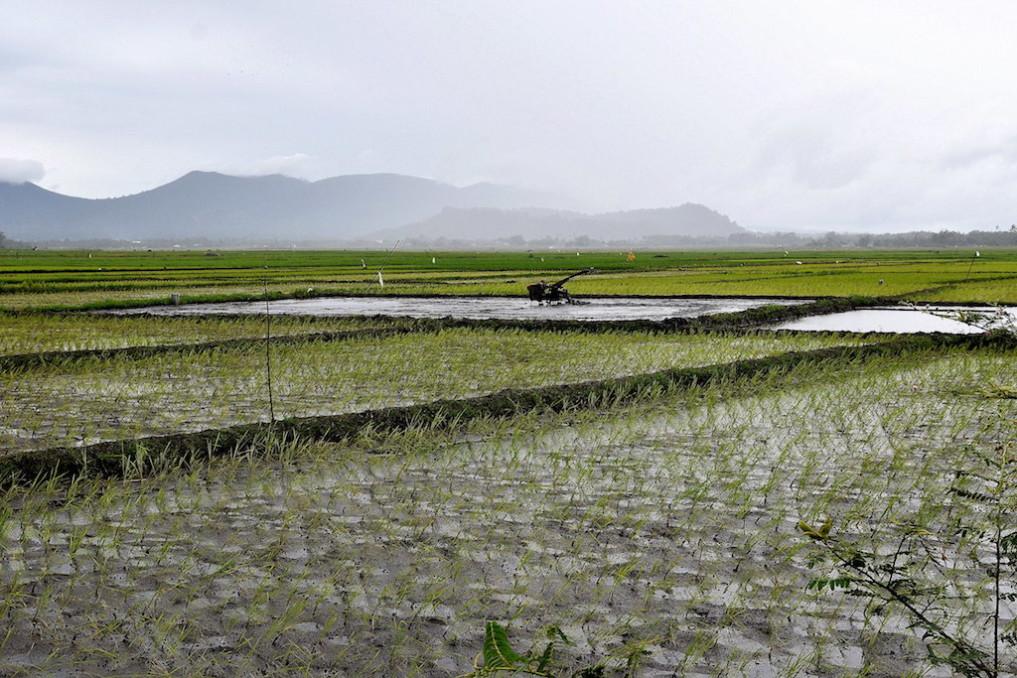 Reisfelder bei Kakas, Langoan
