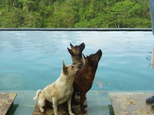 3 Bali Pool Dogs