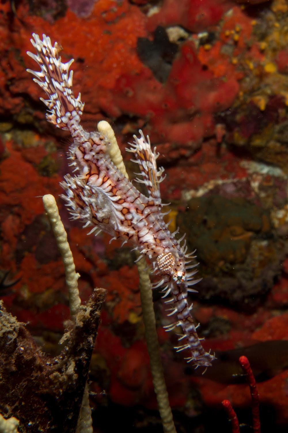 33-Geisterpfeiffenfisch