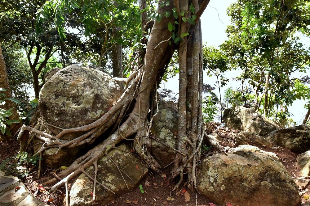 37 Ein mächtiger Ficus, der sich an Felsbrocken festhält - nahe Pantai Pulisan