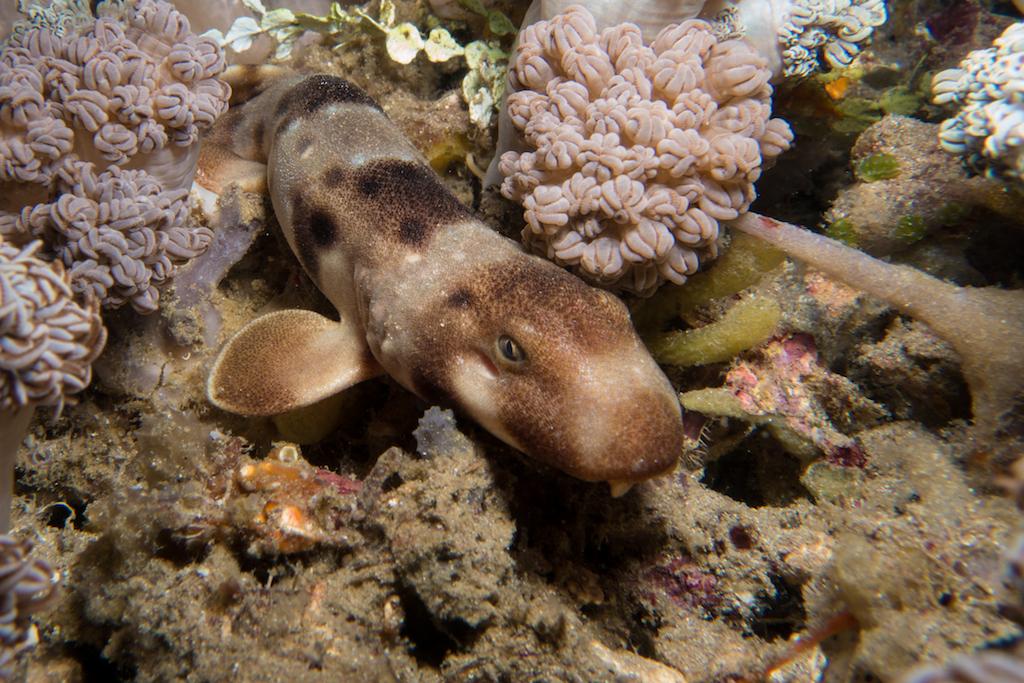 4-Epaulettenhai