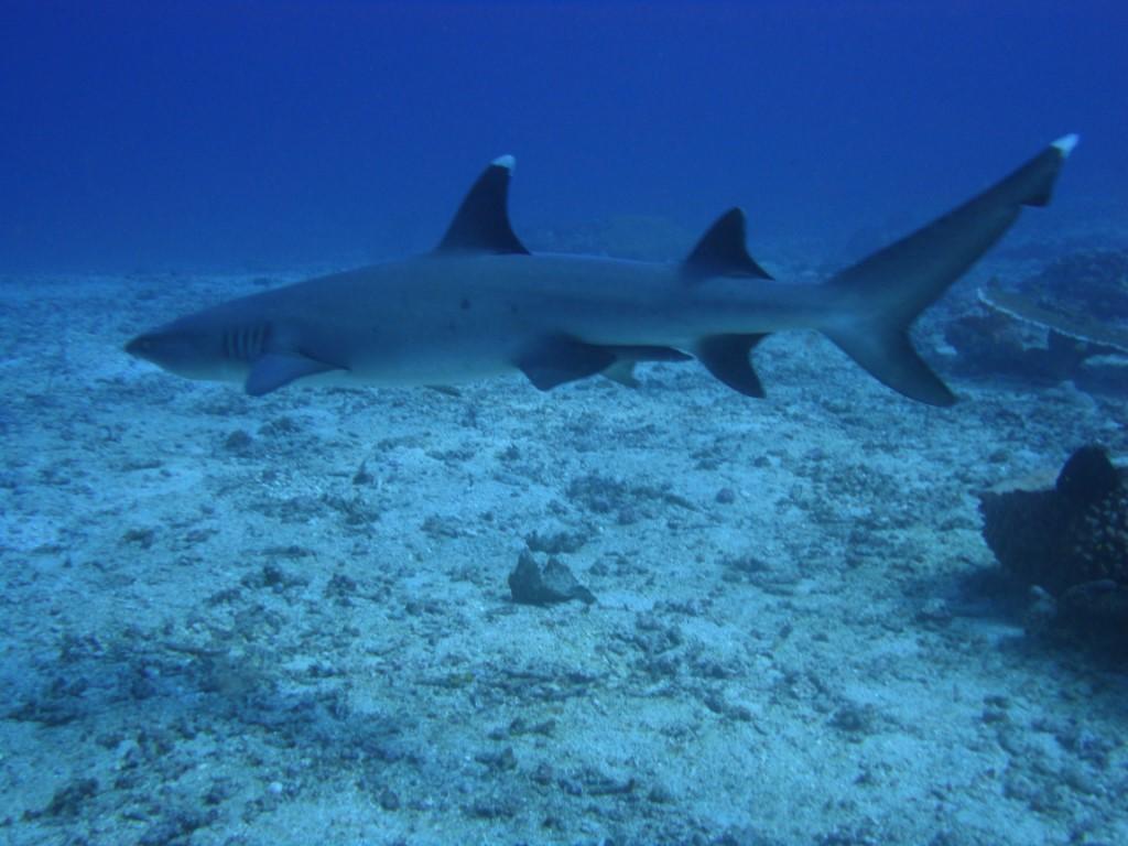4. Weißspitzenriffhai [1024x768]