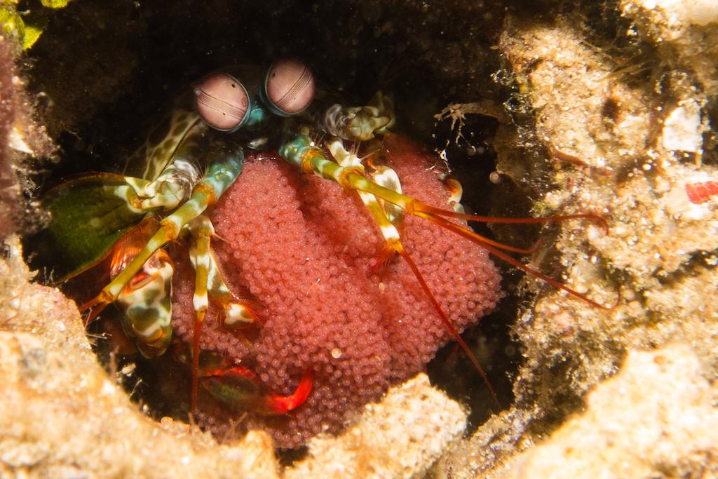 56-Fangschreckenkrebs
