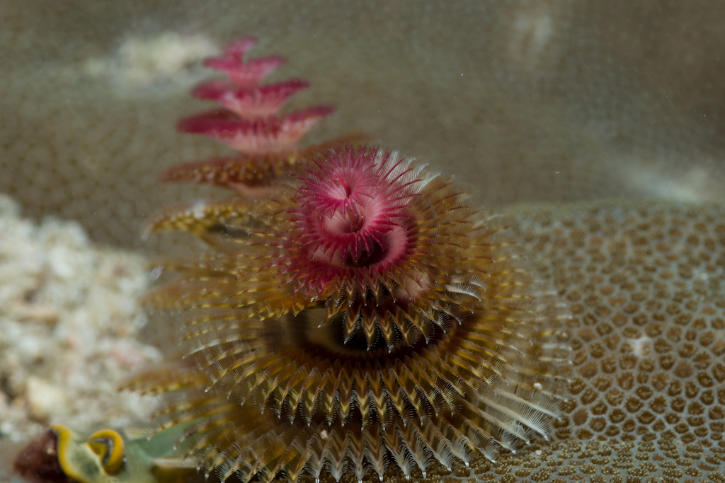 64christmas tree worm