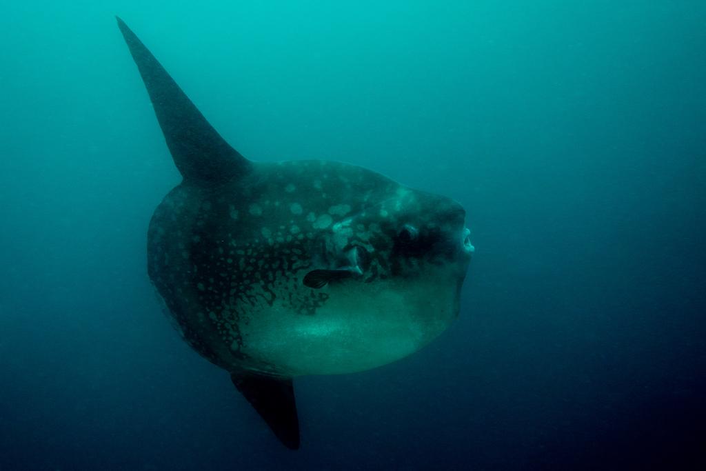 7-Mola Mola