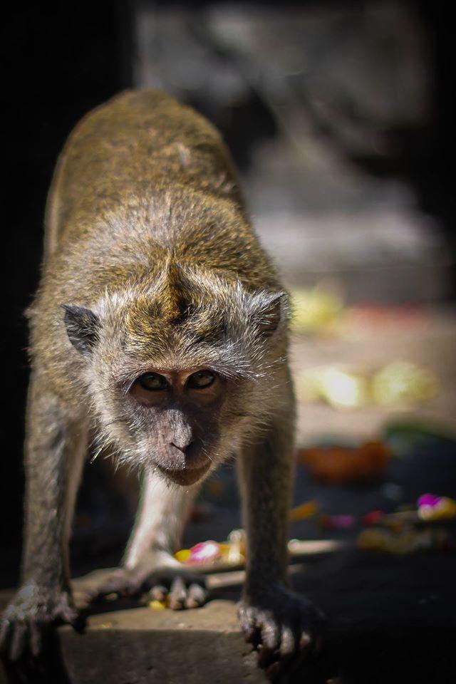 Affe in Uluwatu (Bali) - Foto von Manuel Gaißer