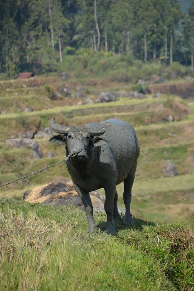 Büffel in Tana Toraja, Sulawesi - Foto von Sandra Fischer