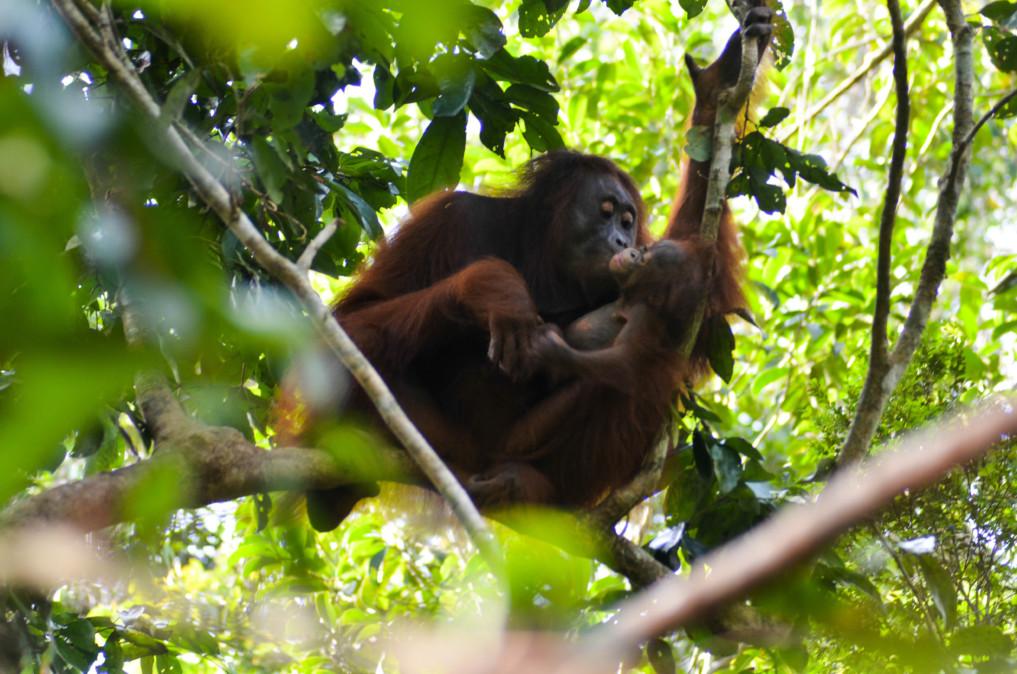 Orang Utan im Tanjung Puting Nationalpark