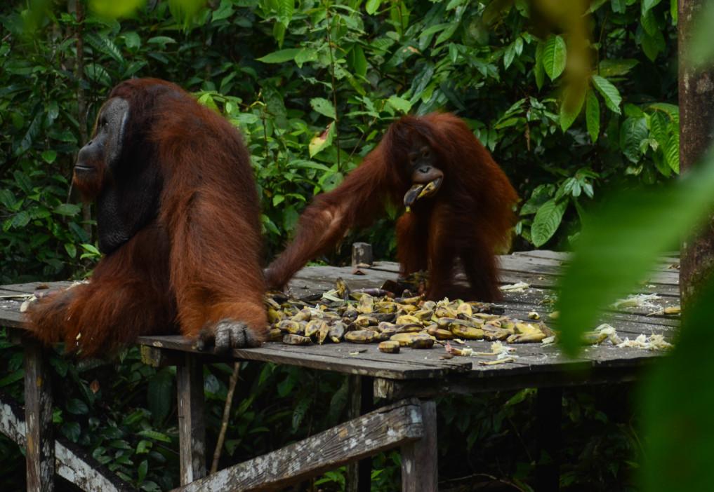 Fütterungsstelle im Tanjung Puting Nationalpark