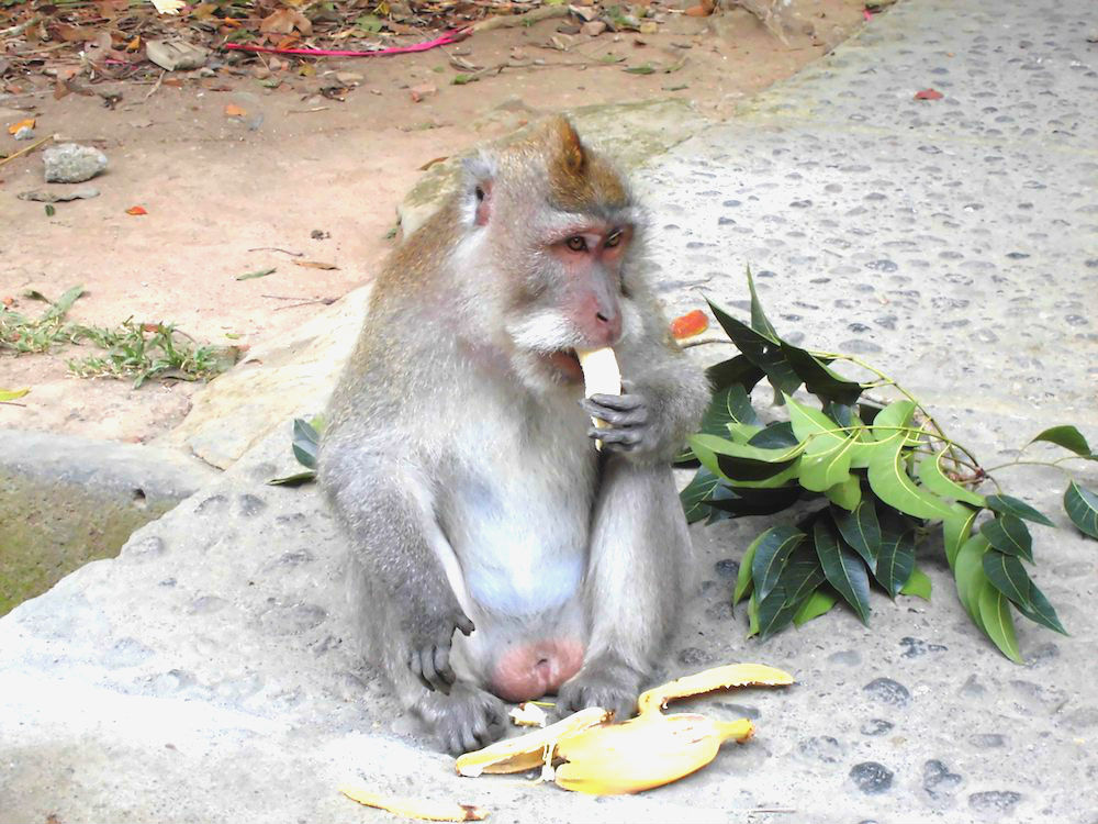 Bali Lombok Rundreise Monkey Forest