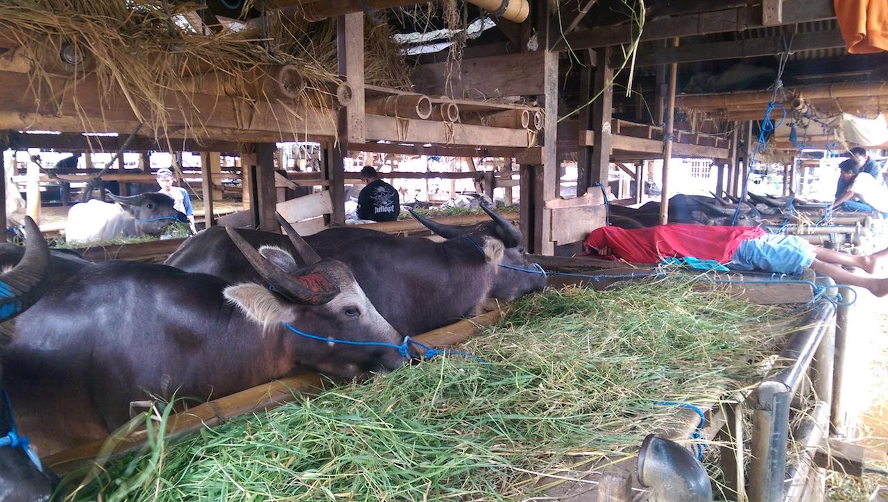 Büffelmarkt Rantepao