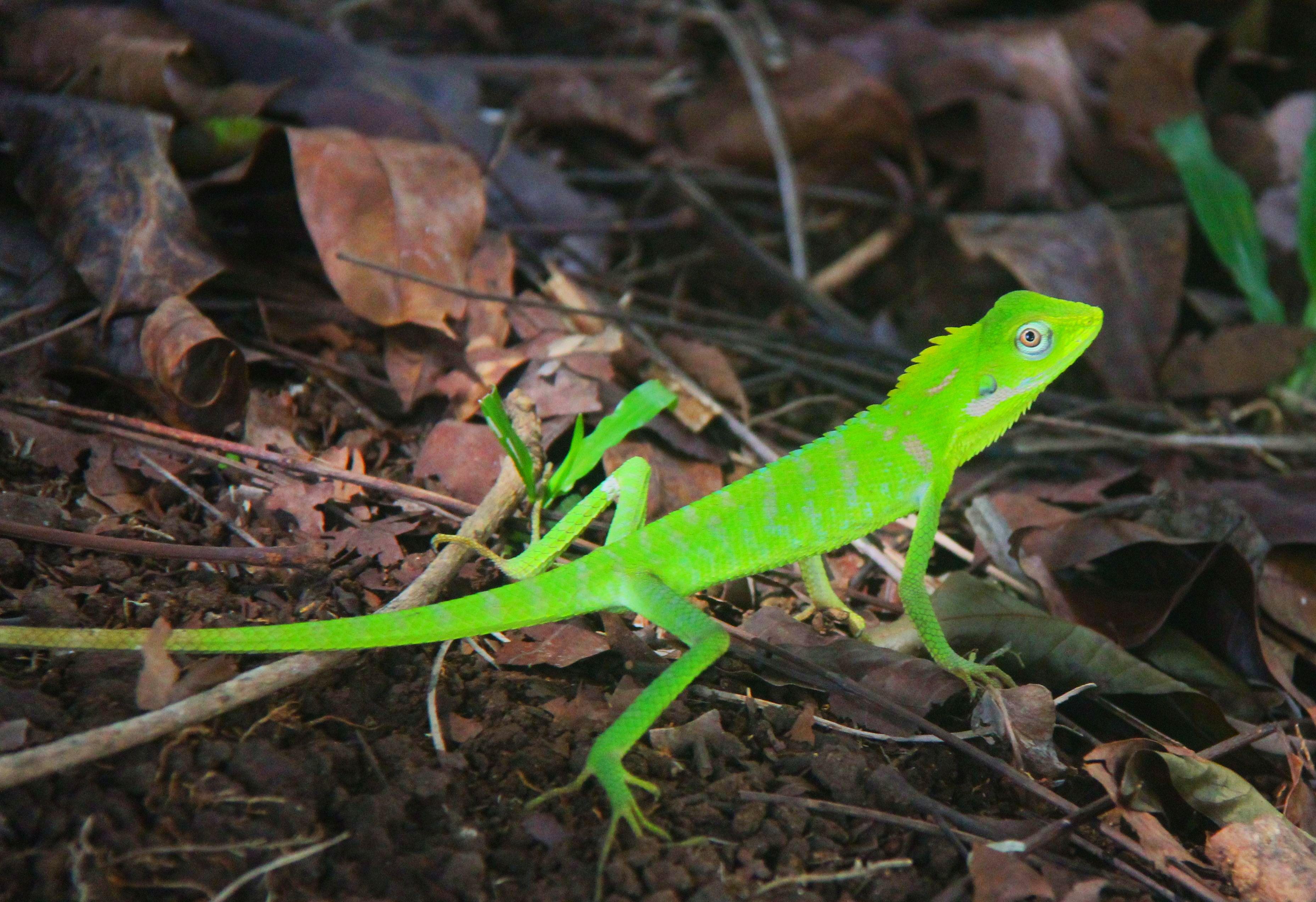 Chameleon Rancamaya Bogor - Foto von Hans Müller