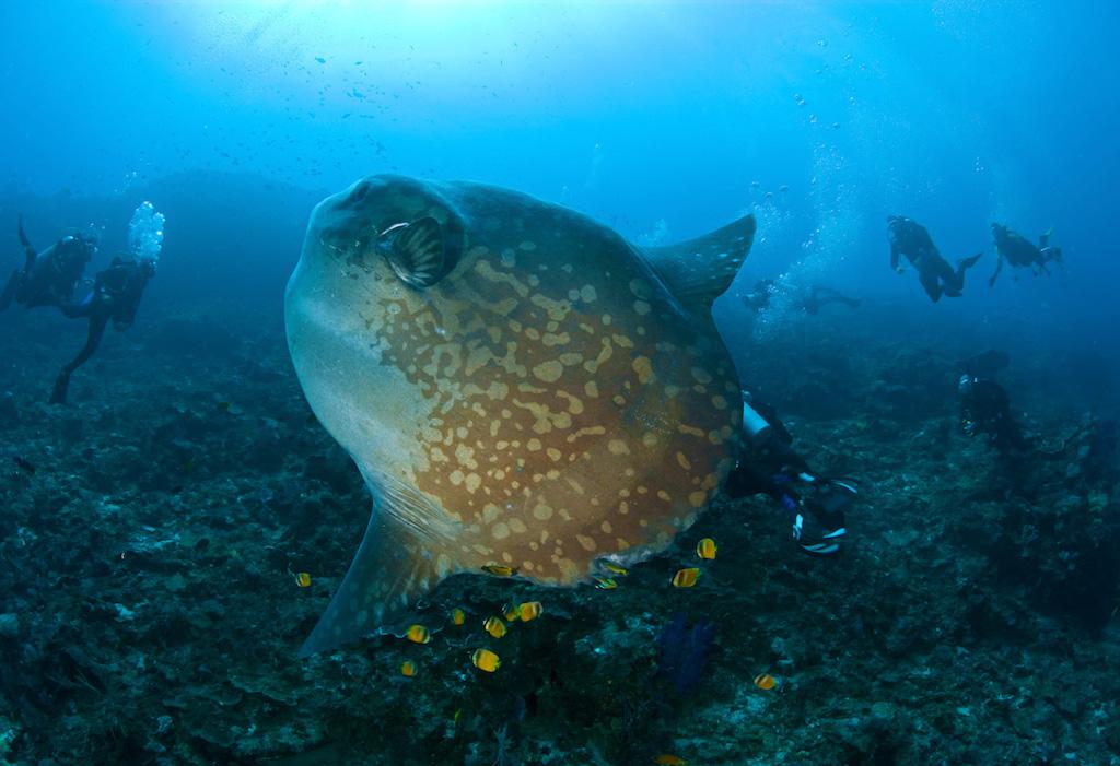 Der berühmte Mondfisch in Nusa Penida