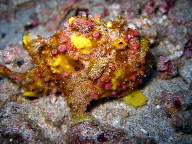Frogfish - Foto von Hella Binder