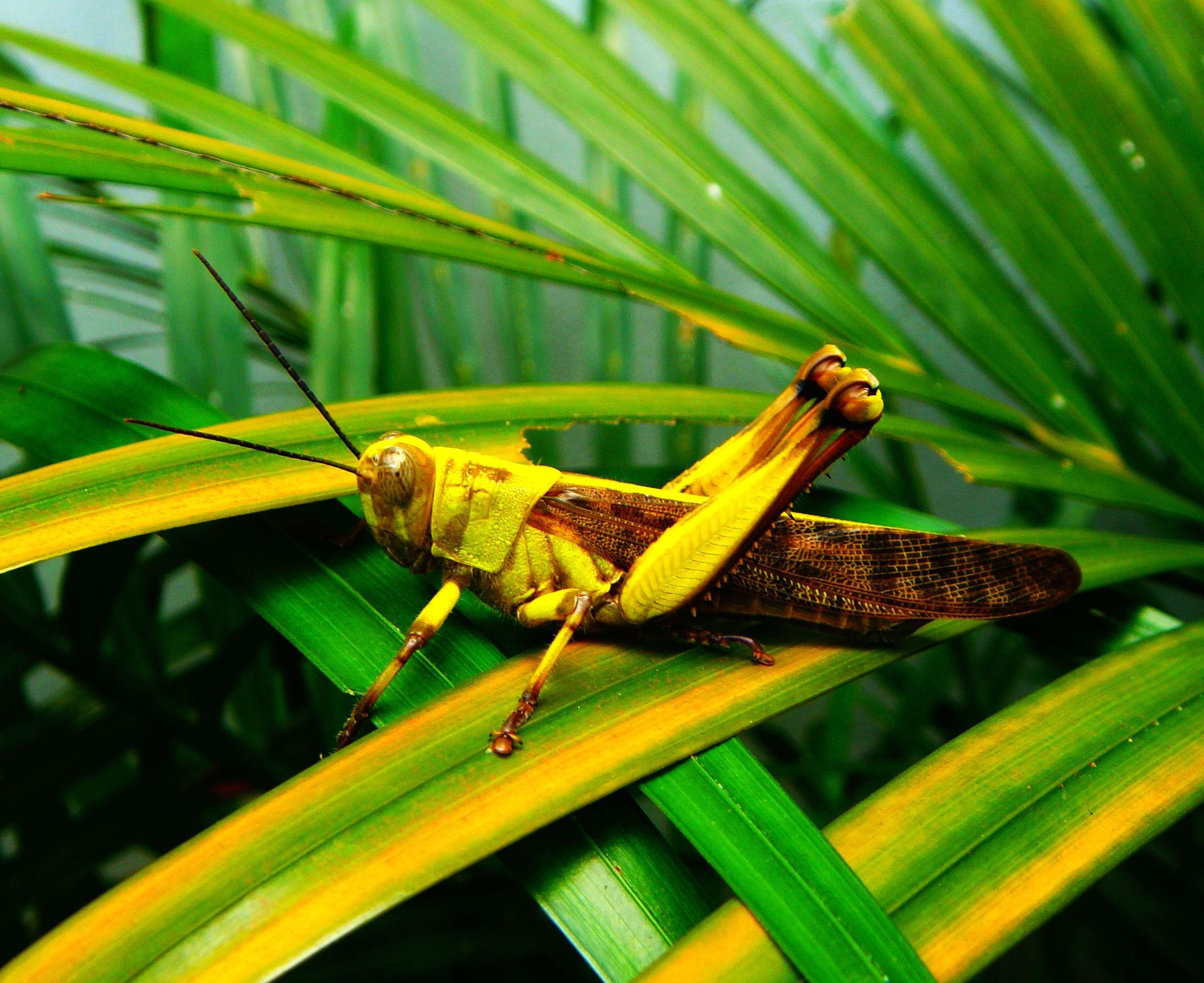 Grashopper Rancamaya Bogor - Foto von Hans Müller
