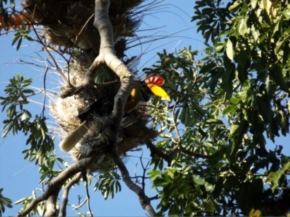 Helmhornvogel (Aceros cassidix)