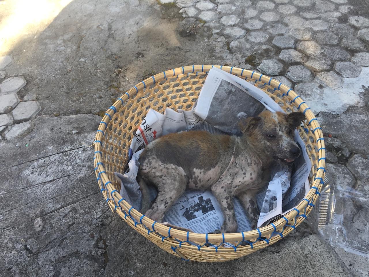 Hund-von-Bali-nach-Deutschland-bringen - Transfer zum Tierarzt