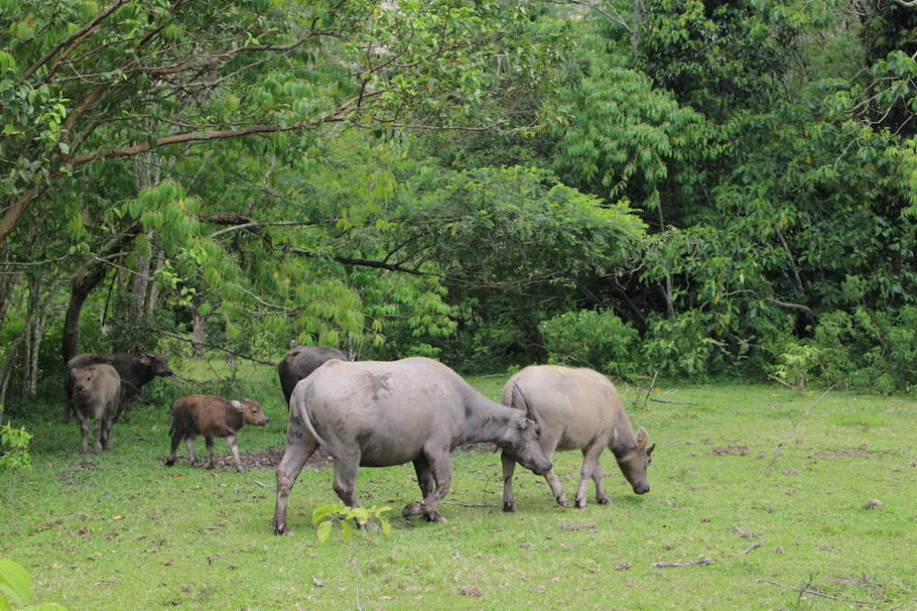 Büffel Bukittinggi