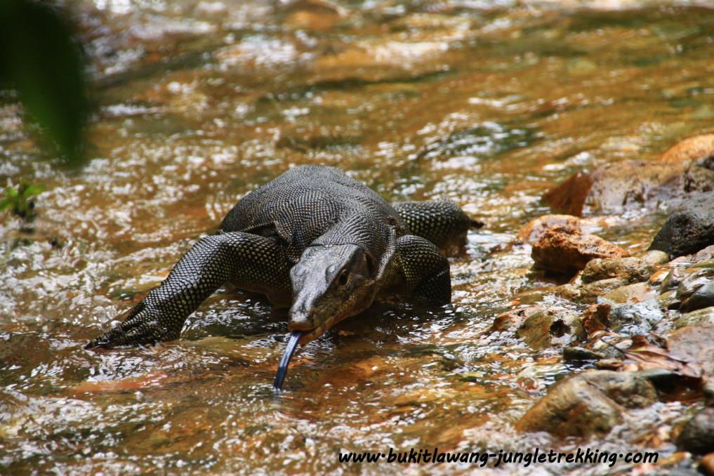 Tiere Bukit Lawang