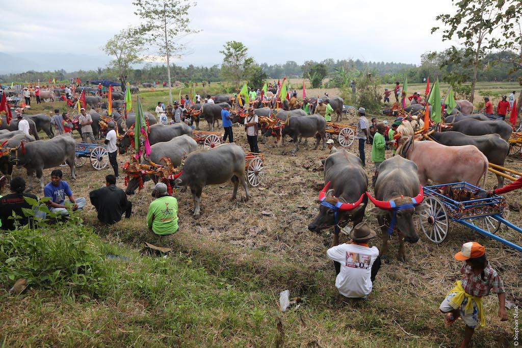 Indonesien-Bali-Büffelrennen-1