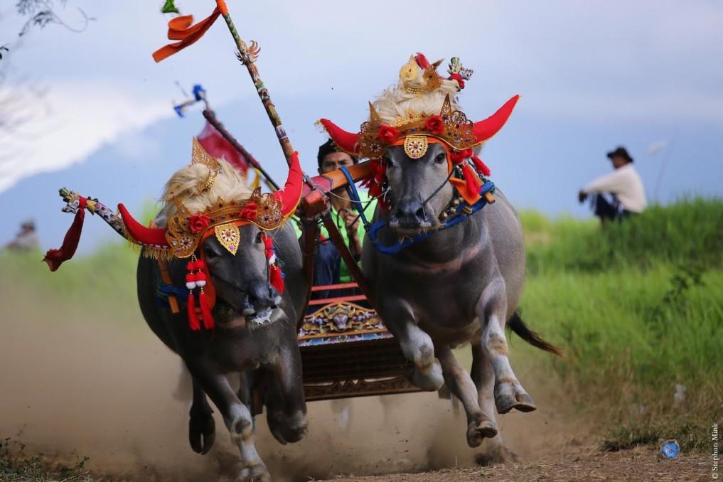 Indonesien-Bali-Büffelrennen-3