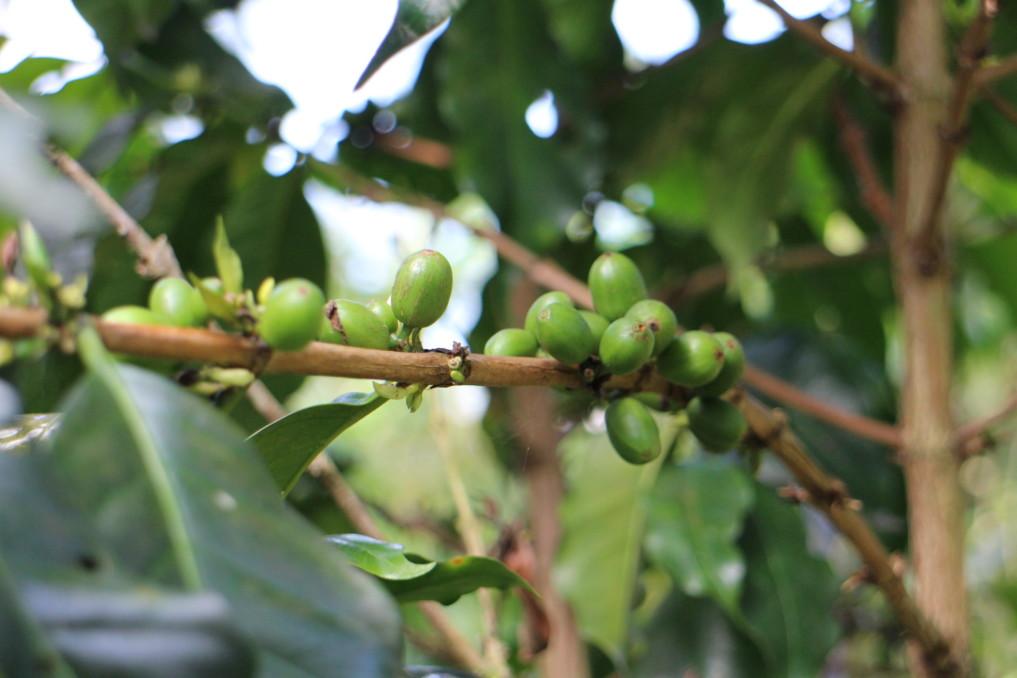 kaffee-pflanze-indonesien