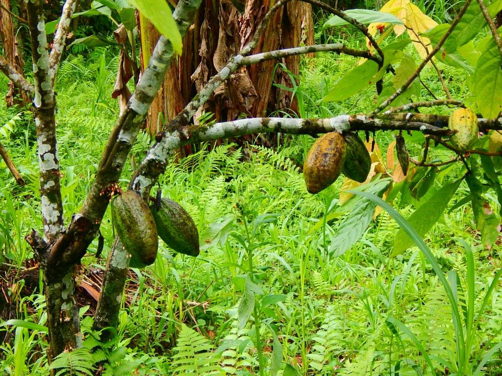 Kakaobaum Jatiluwih