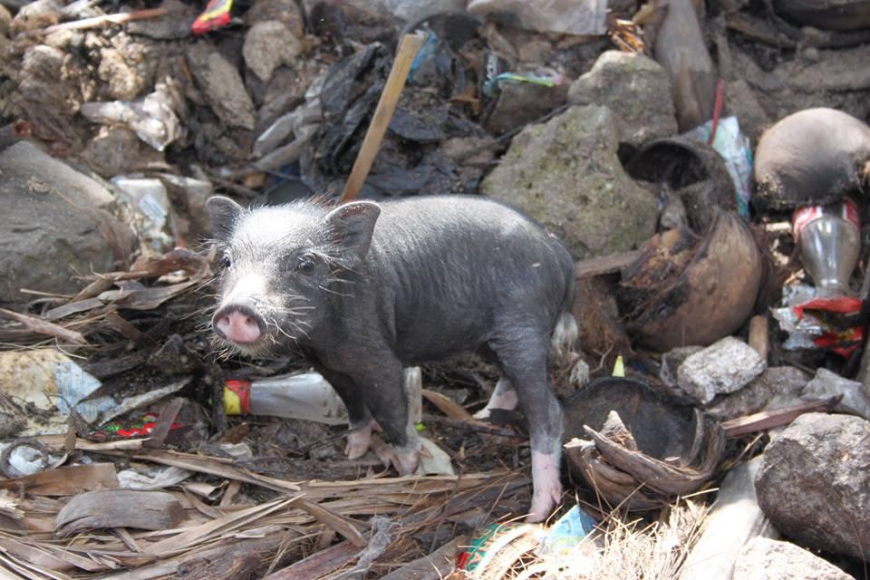 Kleines Schweinchen in Nordsulawesi - Foto von Mad Len