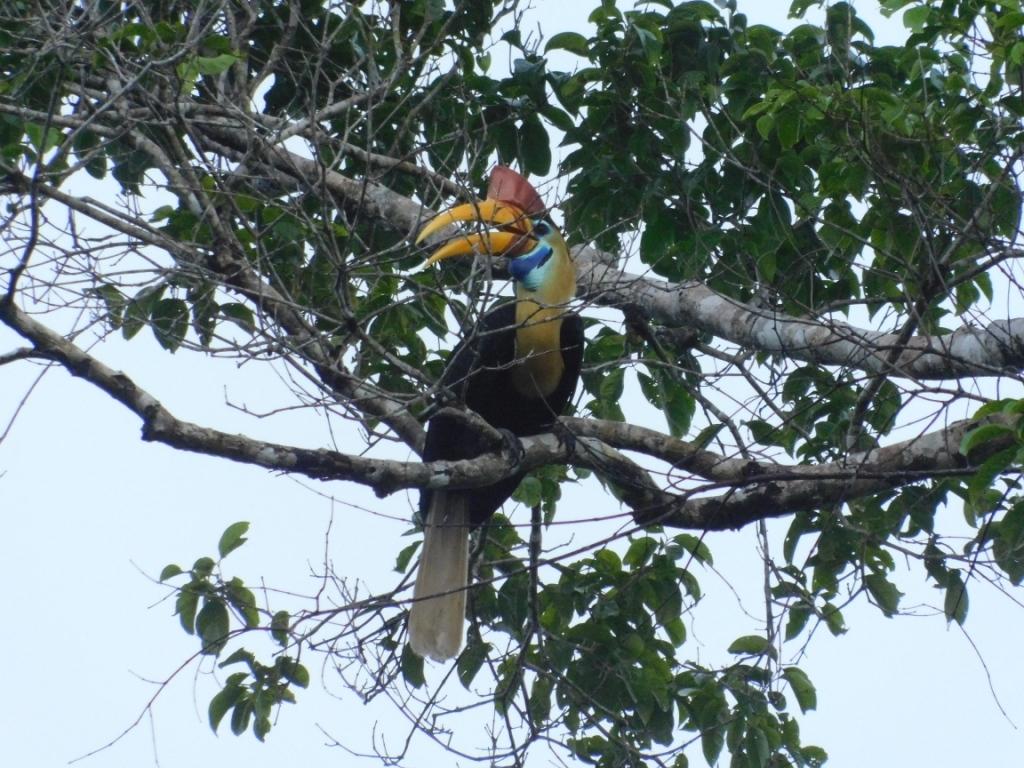 Hornbill-regenwald-indonesien