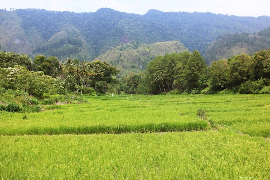 Lake Toba Reisfelder
