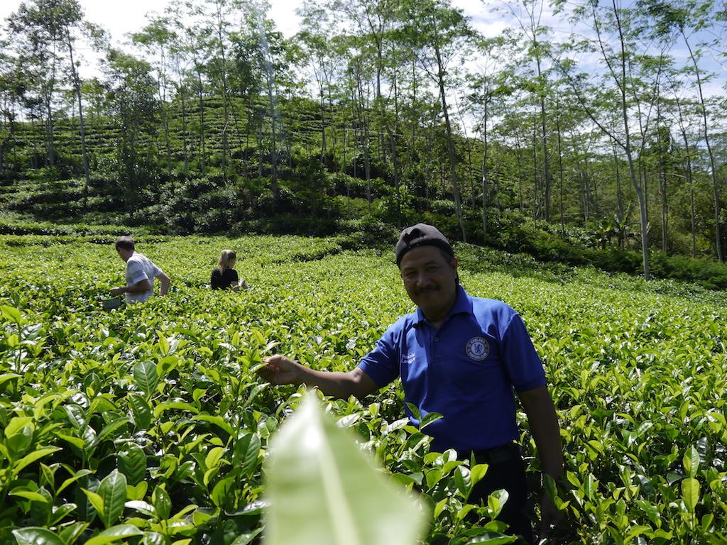 Nglinggo-tea-plantation-yogyakarta
