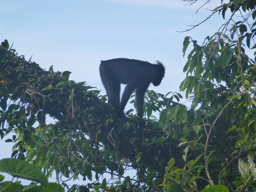 Makaken Sulawesi