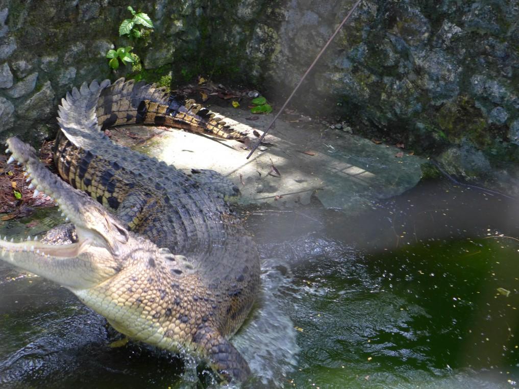 Museum Pusaka Nias: Krokodile