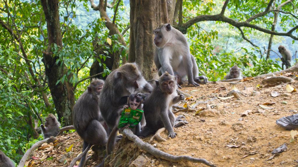 Pemenang-Monkey