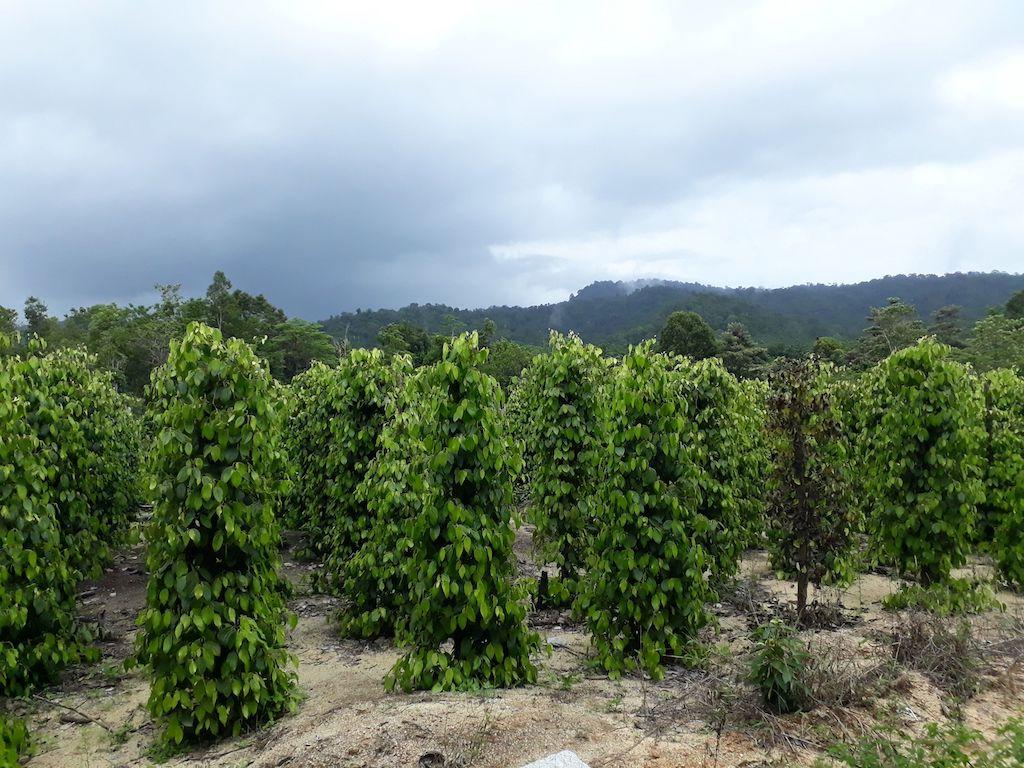 Pfefferpflanzen-Belitung