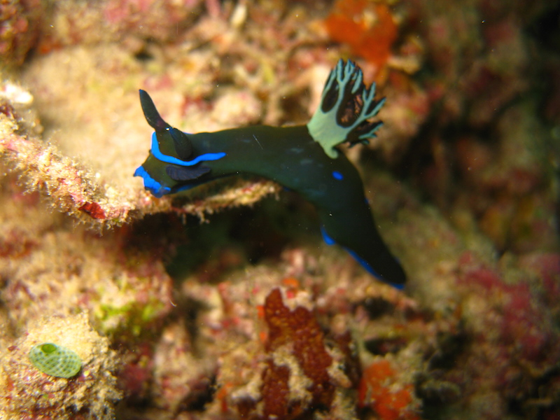 Raja Ampat Nudibranch