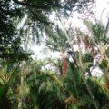 Im Botanischen Garten gibt es unzählige verschiedene Palmen-Arten
