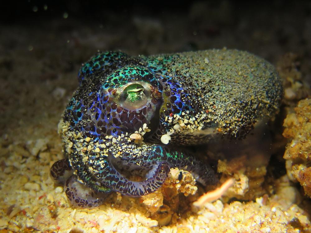 Sea_Souls_Dive_Resort_Bobtail_Squit