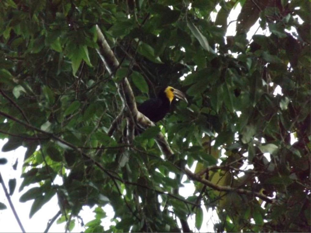 Sulawesi Hornvogel (Penelopides exarhatus)