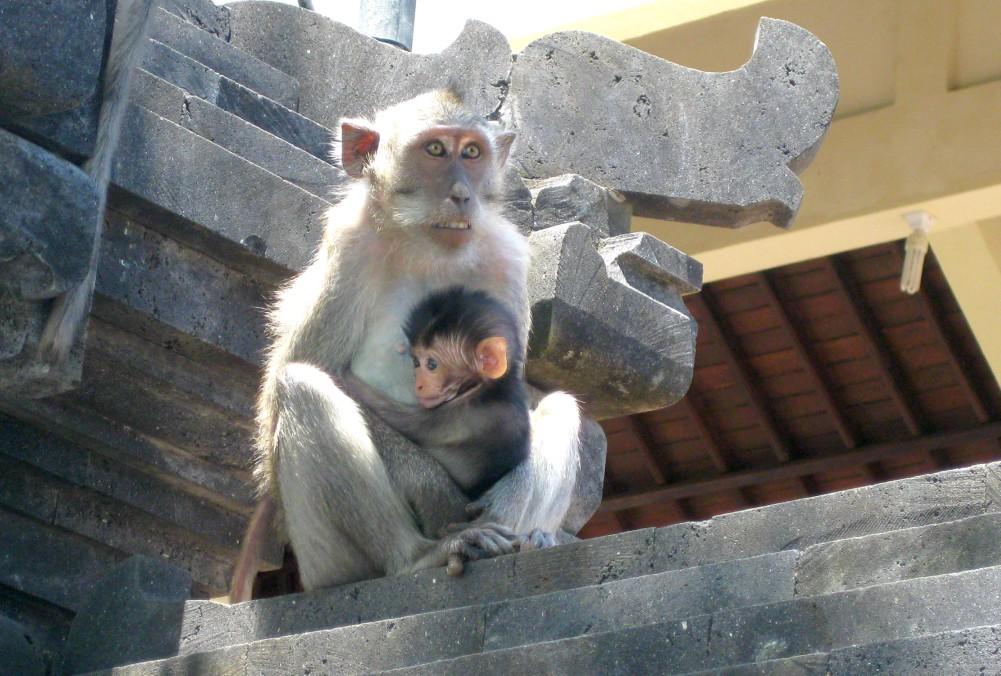 Surfen-Indonesien-Affen