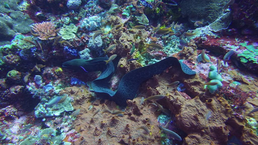 Tauchen-Komodo-Nationalpark-moray