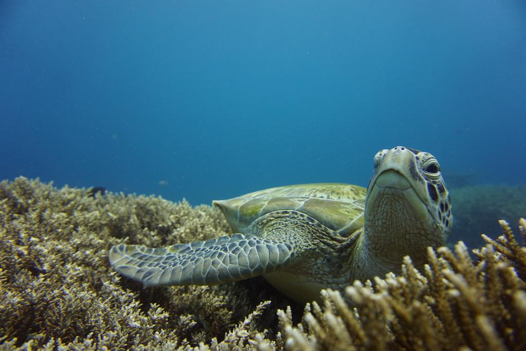 Tauchen-Komodo-Nationalpark-schildkröte