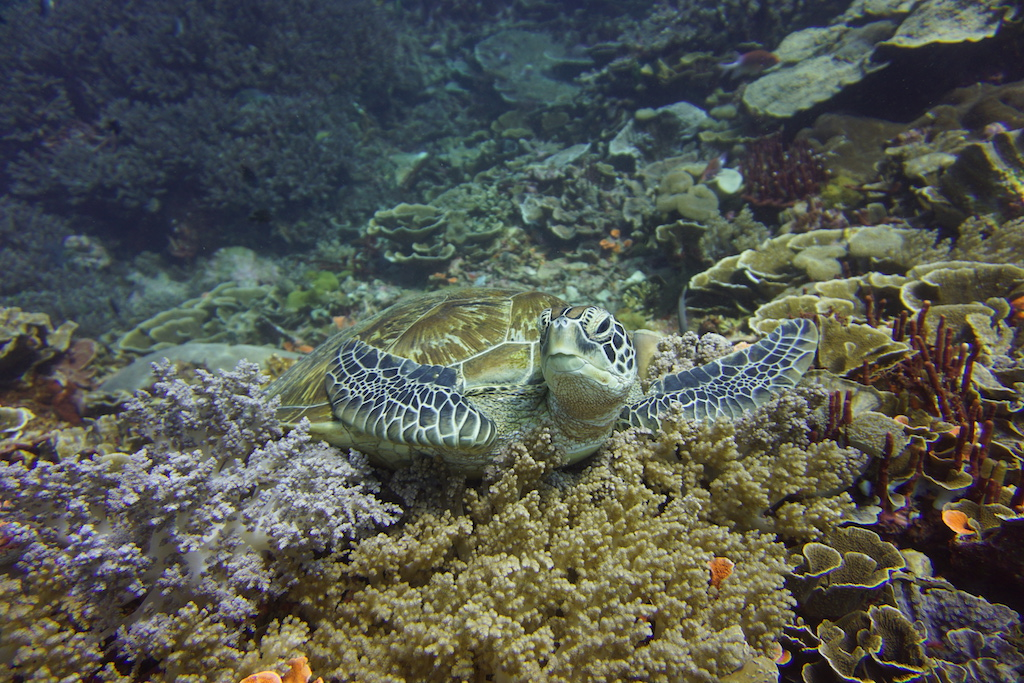 Tauchen-Komodo-Nationalpark-turtle