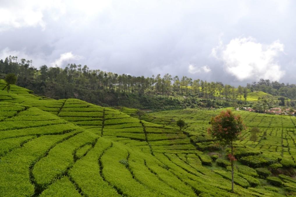 Teefelder Bandung