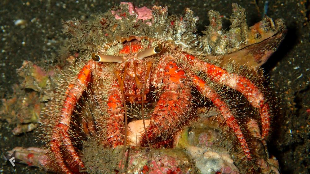 Krabben-Indonesien