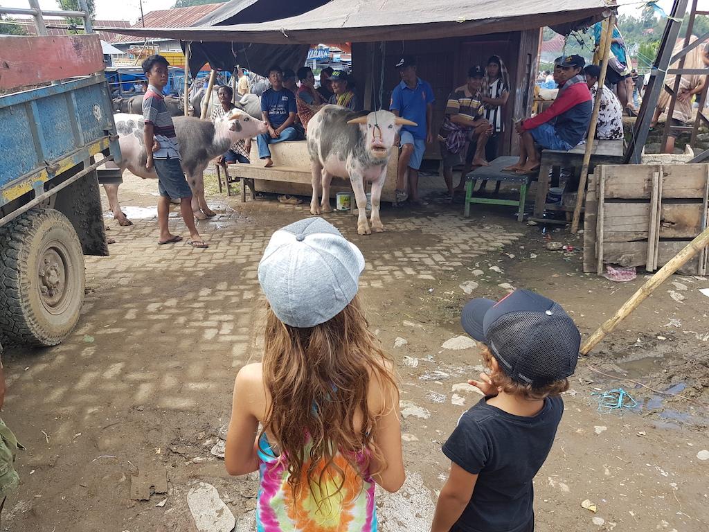 albinobueffel-tana-toraja-rantepao-bueffelmarkt