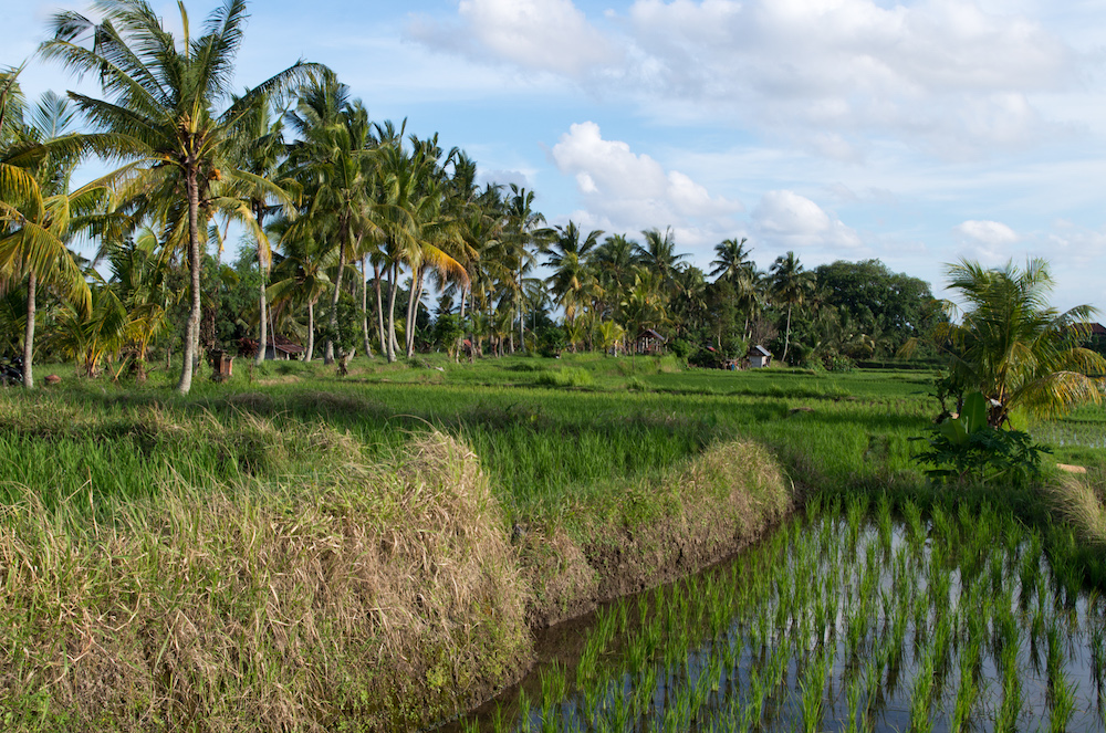 auswandern-bali-reisfelder