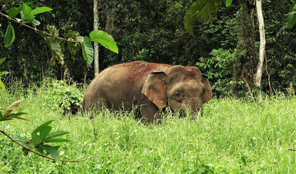 borneo-zwergelefant-tiere-indonesien