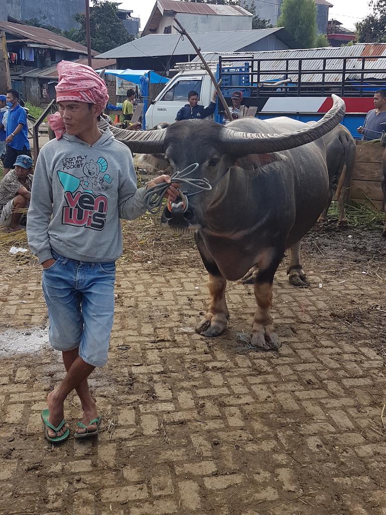 büffel-tana-toraja-rantepao